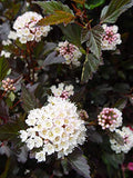 Proven Winners - Physocarpus op. Summer Wine (Ninebark) Shrub, red foliage, #2 - Size Container