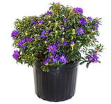Rhododendron X 'Blue Baron' (Rhododendron) Evergreen, bluish purple flowers, #3 - Size Container