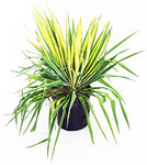 Yucca filamentosa 'Golden Sword' (Yucca) Shrub, #2 - Size Container