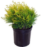 Chamaecyparis p. 'Vintage Gold' (Cypress) Evergreen, gold foliage, #2 - Size Container