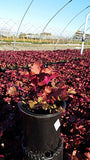 Heuchera 'Red Sea' (Coral Bells) Perennial, red foliage, 1 - Size Container