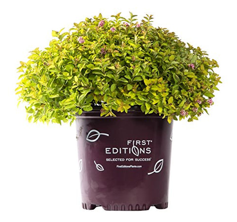 First Editions - Spiraea X Sundrop (Spirea) Shrub, pink flowers, #3 - Size Container