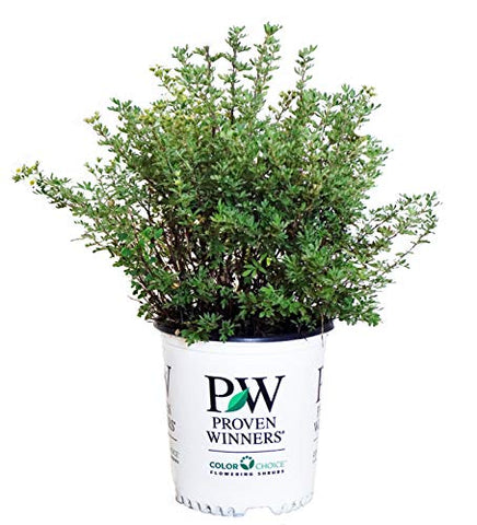Proven Winners - Potentilla frut. Happy Face White (Cinquefoil) Perennial, white flowers, #2 - Size Container