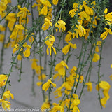 Proven Winners - Cytisus scop. Sister Golden Hair (Scotch Broom) Shrub, , #2 - Size Container