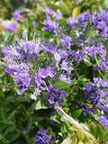 First Editions - Caryopteris X cland. Sapphire Surf (Bluebeard) Shrub, blue flowers, #2 - Size Container