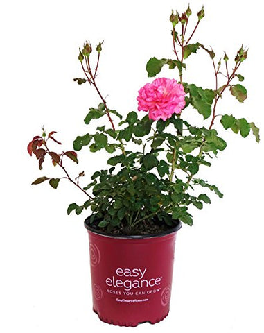 Easy Elegance Roses - Rosa Kiss Me (Rose) Rose, double pink flowers, #2 - Size Container