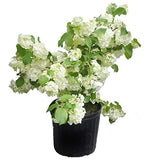 Viburnum plicatum 'Popcorn'  (Japanese Snowball) Shrub, white ball-shaped flowers, #3 - Size Container