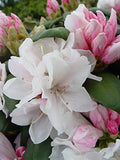 Rhododendron yak. 'Princess' (Rhododendron) Evergreen, light pink flowers that ages to white, #2 - Size Container