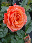Rosa Livin' Easy (Rose) Rose, orange flowers, #3 - Size Container