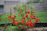 Proven Winners - Chaenomeles Double Take Orange (Quince) Shrub, orange flowers, #2 - Size Container