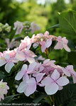 Proven Winners - Hydrangea mac. Let's Dance Diva! (Reblooming hydrangea) Shrub, RB pink, #3 - Size Container