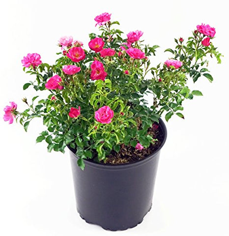 Flower Carpet Roses - Rosa Pink (Rose) Rose, double pink flowers, #2 - Size Container