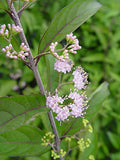 Callicarpa dich. 'Early Amethyst' (Beautyberry) Shrub, pink flowers, #3 - Size Container
