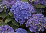 Proven Winners - Hydrangea mac. Cityline Rio (Bigleaf Hydrangea) Shrub, blue flowers w/green center , #2 - Size Container