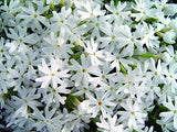 Phlox subulata 'Snowflakes' (Moss Phlox) Perennial, white flowers, 1 - Size Container