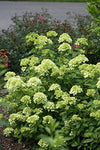 Proven Winners - Hydrangea pan. Little Lime (Panicle Hydrangea) Shrub, dwarf white/lime to pink flowers, #2 - Size Container
