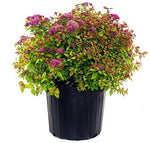 Spiraea jap. 'Magic Carpet' (Spirea) Shrub, #3 - Size Container