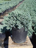 Juniperus squamata 'Blue Star' (Juniper) Evergreen, #2 - Size Container