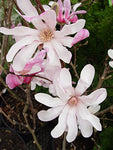 Magnolia X loeb. 'Leonard Messel' (Magnolia) Tree, lavender-pink flowers, #3 - Size Container