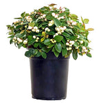 Gaultheria p. Peppermint Pearl  (Wintergreen) Evergreen, white flowers with white  fruit, 1 - Size Container