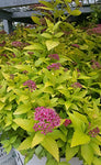 Proven Winners - Spiraea jap. Double Play Gold (Spirea) Shrub, , #3 - Size Container
