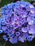 Proven Winners - Hydrangea mac. Let's Dance Rhythmic Blue (Bigleaf Hydrangea) Shrub, RB pink or blue, #3 - Size Container