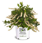 Proven Winners - Itea virginica Little Henry (Sweetspire) Shrub, , #3 - Size Container