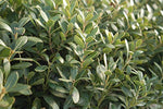 Ilex glabra 'Densa' (Inkberry Holly) Evergreen, #2 - Size Container