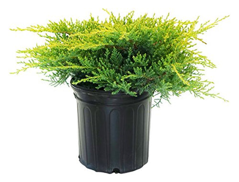 Juniperus chinensis 'Gold Star' (Chinese Juniper) Evergreen, #2 - Size Container