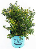 Bushel and Berry - Vaccinium cor. Blueberry Glaze (Blueberry) Edible-Shrub, , #2 - Size Container