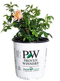 Proven Winners - ROSA `AT LAST` (Rose) Rose, orange flowers, #2 - Size Container