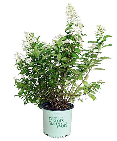 Plants That Work - Hydrangea pan. Confetti (Panicle Hydrangea) Shrub, compact form with white flowers, #3 - Size Container