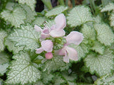 Pink Ribbon Plants - Lamium 'Pink Pewter' (Deadnettle) Perennial, pink flowers, 8`` - Size Container
