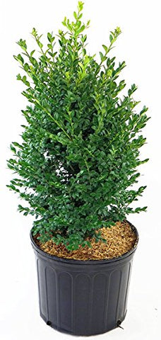 Buxus micro. jap. 'Green Mountain' (Boxwood) Evergreen, #2 - Size Container