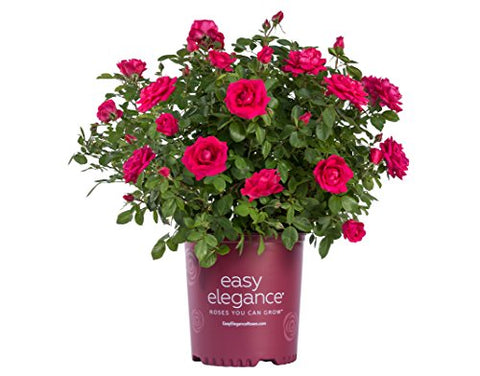 Easy Elegance Roses - Rosa My Girl  (Shrub Rose) Rose, deep pink flowers, #2 - Size Container