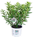 Proven Winners - Hydrangea pan. Zinfin Doll (Panicle Hydrangea) Shrub, white/pink/red flowers, #3 - Size Container