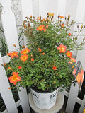 Proven Winners - Rosa OSO EASY Paprika (Rose) Rose, red/orange w/yellow eye, #2 - Size Container