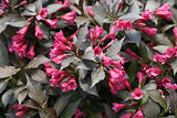 Proven Winners - Weigela florida Spilled Wine (Weigela) Shrub, pink flowers, #2 - Size Container