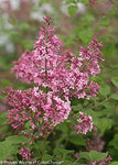 Proven Winners - Syringa x Bloomerang 'Pink Perfume' (Reblooming Lilac) Shrub, pink flowers, #2 - Size Container