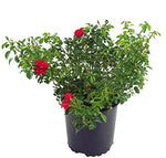 Flower Carpet Roses - Rosa Scarlet (Rose) Rose, red-double, #2 - Size Container