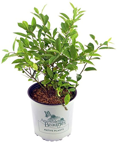 American Beauties Native Plants - Itea virginica 'Henry's Garnet' (Virginia Sweetspire) Shrub, , #2 - Size Container