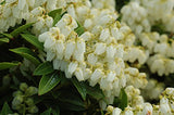 Pieris jap. 'Cavatine' (Cavatine Dwarf Andromeda) Evergreen, #3 - Size Container