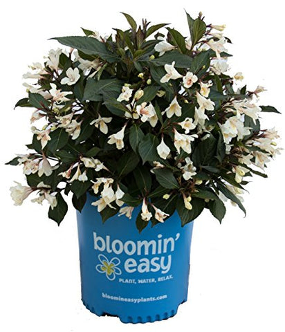 Weigela x Date Night Tuxedo (Weigela) Shrub, white flowers/ dark foliage, #3 - Size Container