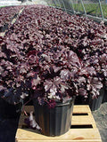 Heuchera 'Plum Pudding' (Coral Bells) Perennial, purple & silver foliage, 1 - Size Container