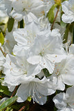 Azalea 'Delaware Valley White' (Azalea) Shrub, white flowers, #3 - Size Container