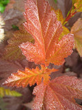 Proven Winners - Physocarpus op. Coppertina (Ninebark) Shrub, copper foliage, #2 - Size Container