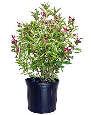 Weigela florida French Lace (Varigated Weigela) Shrub, pink flowers, #3 - Size Container