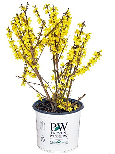 Proven Winners Forsythia X Show Off Forsythia Shrub Yellow