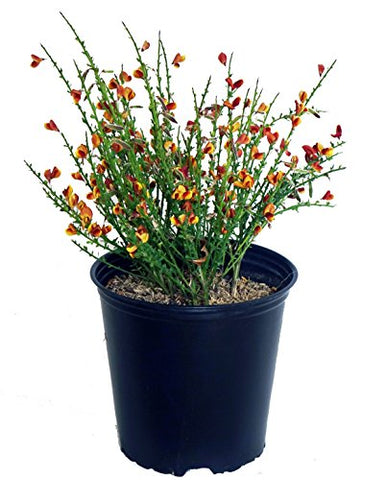 Cytisus sco. 'Lena' (Scotch Broom) Shrub, #3 - Size Container