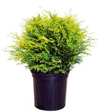 Chamaecyparis obt. Night Light (Hinoki Cypress) Evergreen, yellow foliage, #2 - Size Container